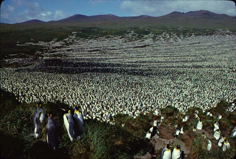 © Henry Weimerskirch  Île aux Cochons king penguin colony in 1982.