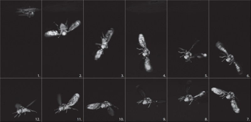 Fly reorientation captured by a high-speed camera filming at 1600 images per sec
