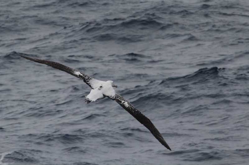 Wandering albatross equipped with a logger off the coast of the Kerguelen Island