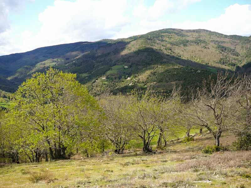 Chestnut groves in the Lozère department in France's Cévennes region, an a