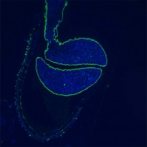 The Endosperm-Derived Embryo Sheath Is an Anti-adhesive Structure that Facilitat